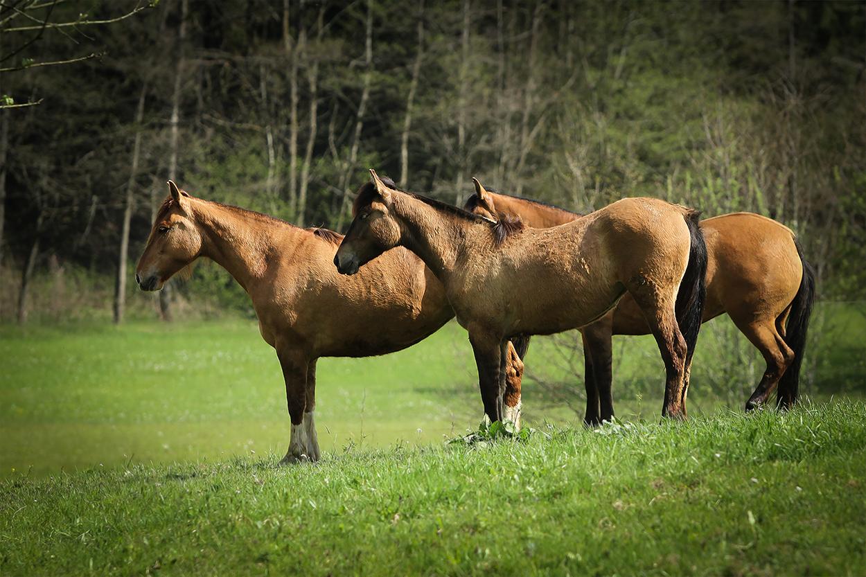 Pferd-5